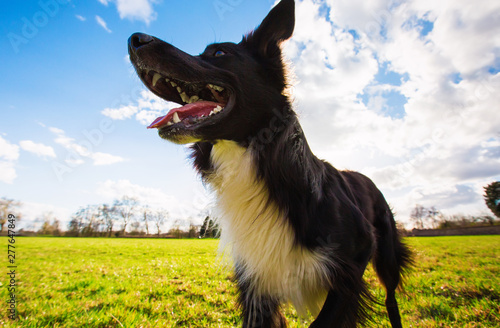 Obraz na plátne Close up portrait of playful purebred border collie dog playing outdoors in the city park