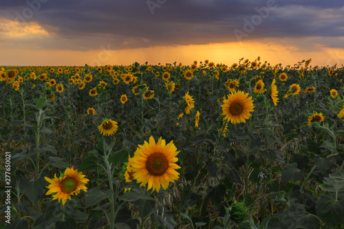 Poster Zonnebloem Sunflowers field at sunset in the mountains