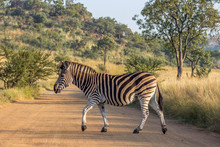 Burchels Zebra Crossing A Road