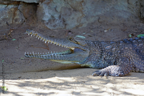 Fototapeta A crocodile in a zoo in Australia