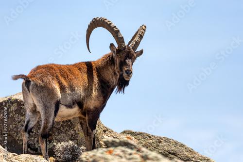 Tablou Canvas Very rare Walia ibex, Capra walia, one of the rarest ibex in world