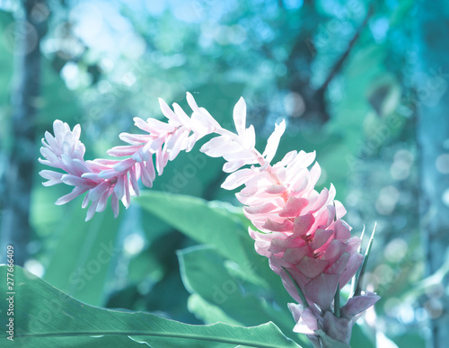 Photo alpine purple flower(Alpinia purpurata)