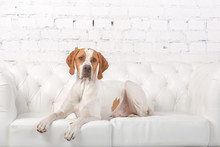 White With Red English Pointer...