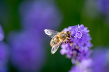 A Honey Bee Close Up On A Purple Flower
