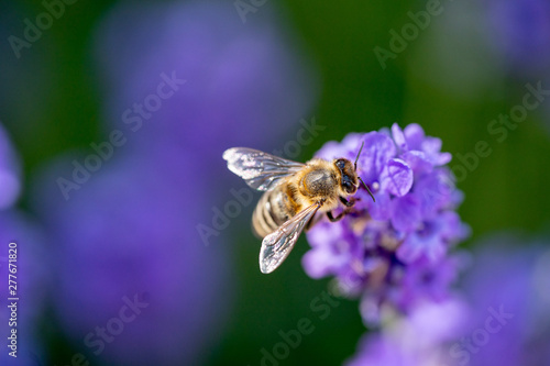 Stickers pour porte Fleur A honey bee close up on a purple flower