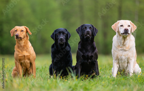 Four Labrador retriever dogs on the meadow Tableau sur Toile