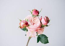 Beautiful Blossoming Single Peony Shaped Pink Rose Flower On The Grey Wall Background, Close Up View