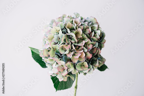 Leinwand Poster Beautiful blossoming single antique blue hydrangea flower on the grey wall backg
