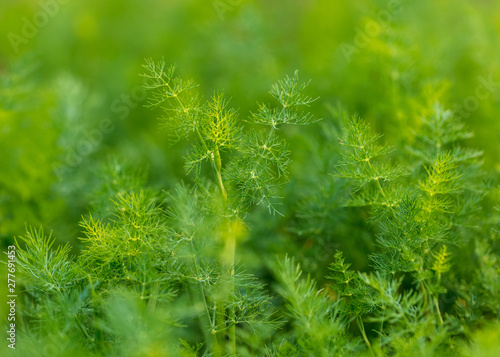 Foto Green leaves on dill as a background