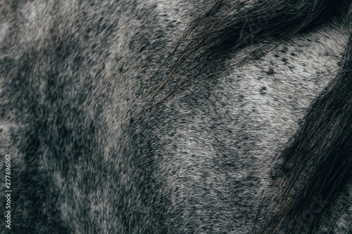 Nice texture of roan grey horse with black mane Fototapete