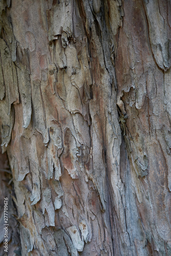 Taxus baccata bark - Buy this stock photo and explore