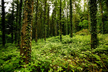 FototapetaA wild forest of tall straight fir trees covered with climbing ivy and dense bushes