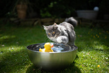 Young Playful Blue Tabby Maine Coon Cat Playing With Yellow Rubber Duck Swimming On Water In A Metal Bowl Outdoors In The Back Yard On A Hot And Sunny Summer Day