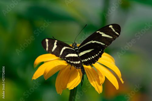 Zebra Longwing Butterfly on a Yellow Flower