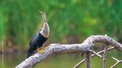Photo anhinga bird