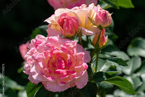 Photo sunny close up of  several gloria dei rose heads