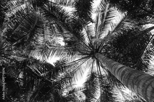Foto auf AluDibond Palms beautiful palm coconut tree - worm eye view - monochrome