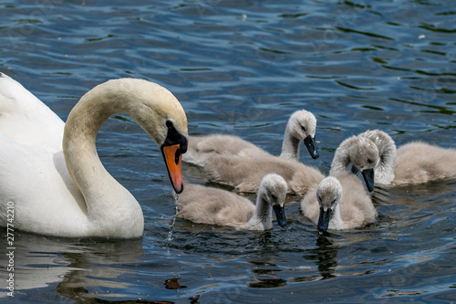 Poster Cygne Something has caught the attention of adult mute swan and ducklings