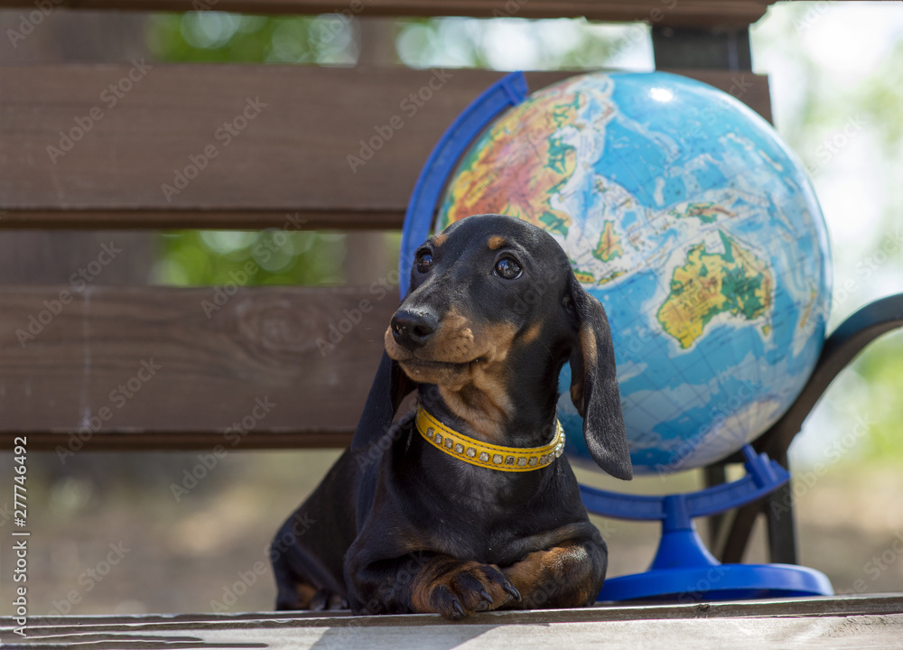 Fototapety, obrazy: Portrait of a young cute girdled dachshund dog and a globe on a background. The concept of summer tourism and travel.