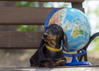Portrait of a young cute girdled dachshund dog and a globe on a background. The concept of summer tourism and travel.
