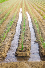 Irrigation Of Young Leek In The Field. Growing Organic Vegetables. Traditional Natural Watering. Eco-friendly Products. Agriculture And Farmland. Crops. Ukraine, Kherson Region. Soft Selective Focus