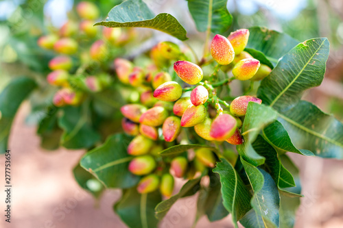 Fotomural Macro closeup of cluster of pink red yellow pistachio tree nuts branch during su