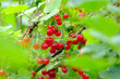 canvas print picture - ripe red currant berries