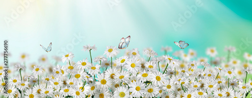 Fotobehang Madeliefjes Chamomile flowers field with butterfly wide background in sun light. Summer Daisies. Beautiful nature scene, blooming medical chamomilles. Alternative medicine. Spring background Beautiful meadow