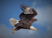 American Bald Eagle Soaring Ag...