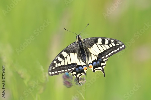Cuadros en Lienzo Old World swallowtail (Papilio machaon) resting on a flower in a green meadow, a butterfly of the family Papilionidae