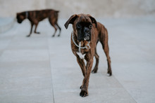 From Above Adorable Boxer Dogs With Amusing Faces Walking Around On Pavement And Waiting For Team