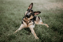 Adult Cute German Shepherd Sit...