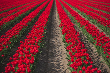 Germany, Rows Of Red Tulips