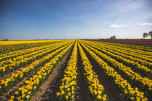 Germany, Yellow Tulip Field