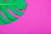 Tropical Plant Green Monstera Leaf On Acid Plastic Pink Background.