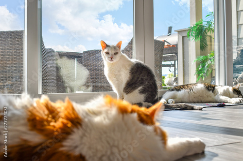 Three cats, an orange white long hair Maine Coon, and two