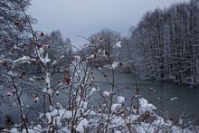Schneebedeckte Hagebutten Am See