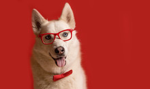 Lovely Siberian Husky Dog Wear...