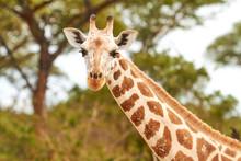 Africa, Uganda, Fort Portal, Elizabeth National Park, Portrait Of A Giraffe