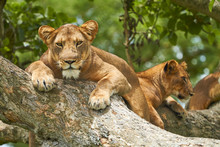 Lions Lying On Tree In Queen Elizabeth National Park
