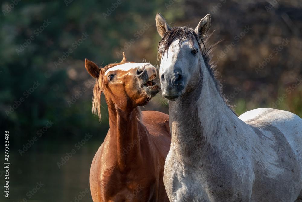 Fototapety, obrazy: Band of wild horses at Salt River, Arizona