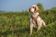 Orange Belton English Setter H...