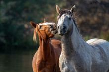 Band Of Wild Horses At Salt River, Arizona