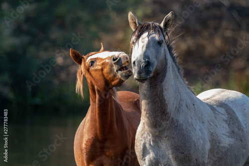 Spoed Foto op Canvas Paarden Band of wild horses at Salt River, Arizona