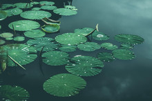 Lily-pads On Pond, Wuppertal, Germany