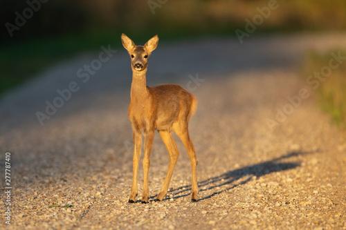 Montage in der Fensternische Reh Young Roe deer (Capreolus capreolus)