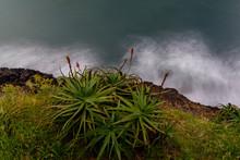 Aloe Vera Plant And Flowers On...