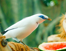 The Bali Myna Bird (Leucopsar ...