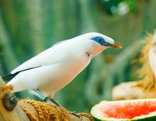 The Bali Myna Bird (Leucopsar Rothschildi), Also Known As Rothschild's Mynah, Bali Starling, Or Bali Mynah