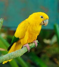 The Golden Parakeet Or Golden Conure